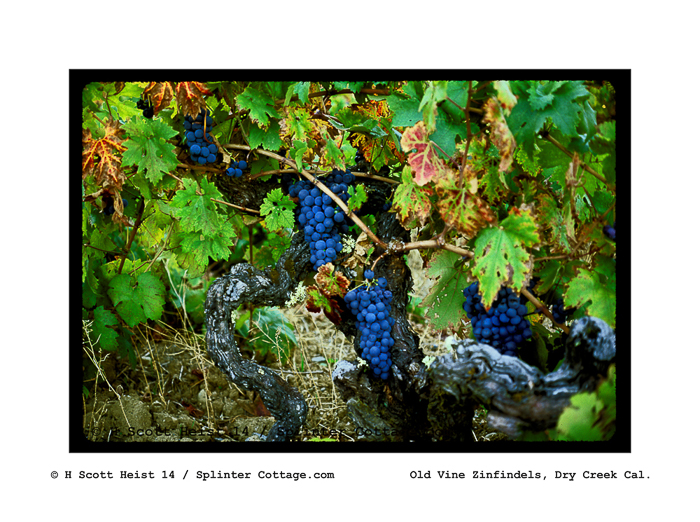 ancient zinfendel grapes001-f copy-2